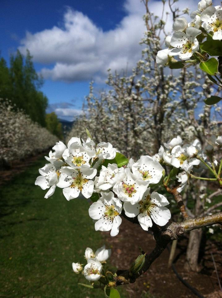 Spring blossoms in the Webster Orchards, where the Comice Pears for The Fruit Company fruit baskets are grown.