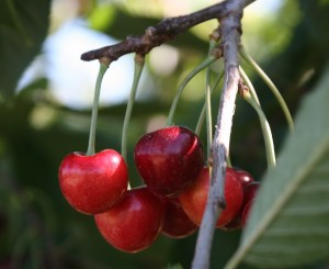 Growing the Best Cherries in the World or: We'll Sleep When Harvest's Over.
