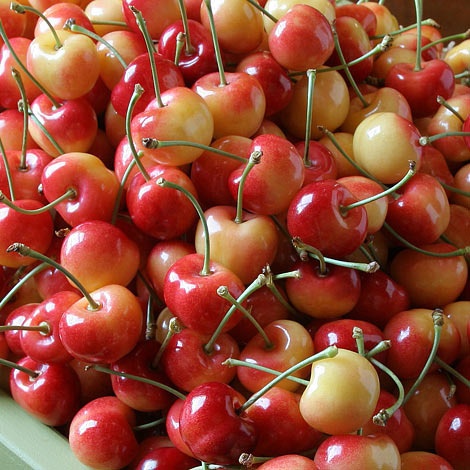 rainier, Rainier Cherries, Harvest, Cherries, fruit trees, Fresh Fruit, Hand Picked, Summer Fruit