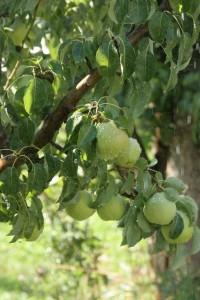 The Fruit Company Pear Harvest