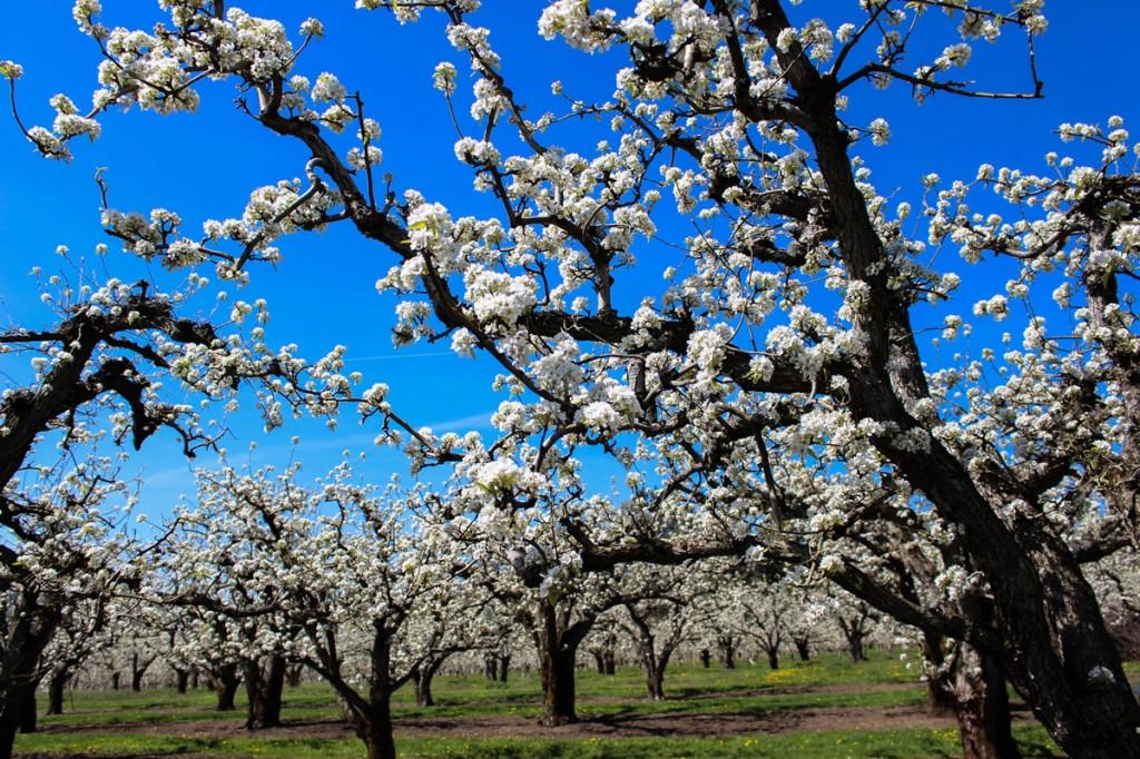 oregon-growers-thefruitcompany-blog-orchard