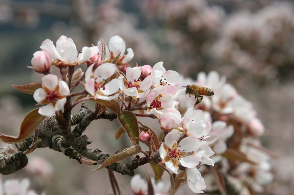 Pear Blossoms and Bee in The Fruit Company's own Webster Orchards