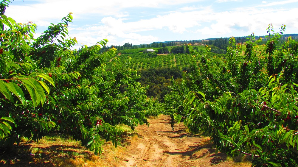 Mosier Cherry Orchard