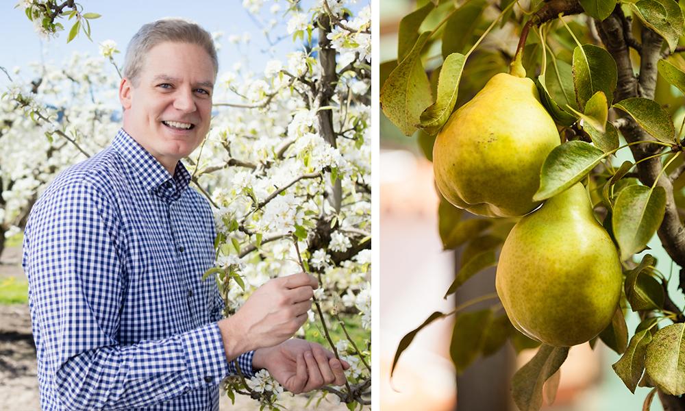 Scott's Tips Pear Season
